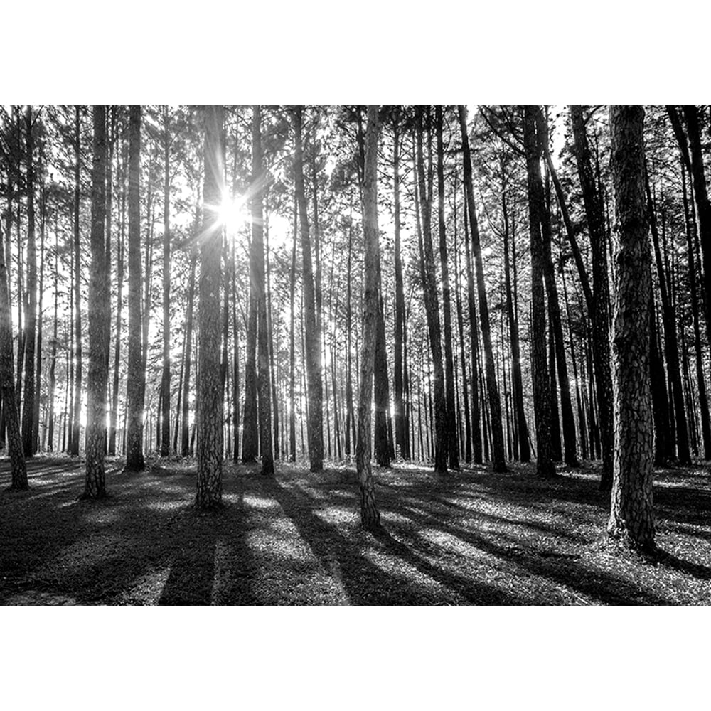 Rainbow black white woodland forest mural photo giant wall for Black and white tree wallpaper mural